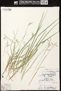 Carex x knieskernii image