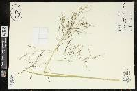 Image of Eragrostis trichodes