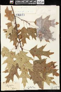 Quercus rubra image