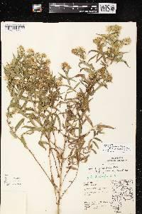 Symphyotrichum firmum X S. praealtum image