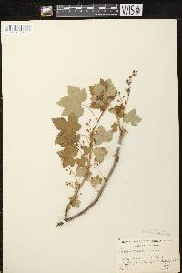 Ribes glandulosum image