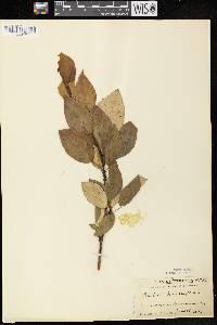 Populus balsamifera image