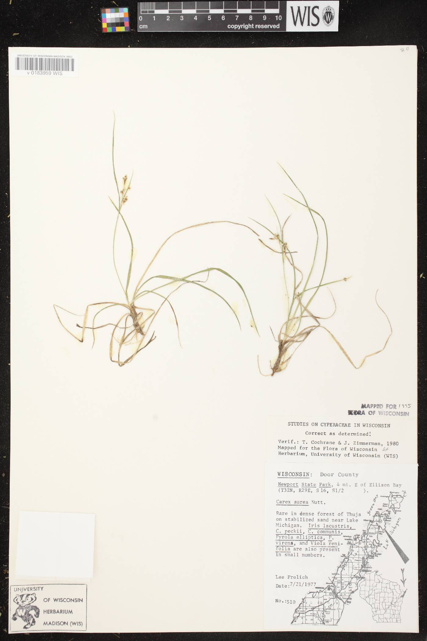 Carex aurea image
