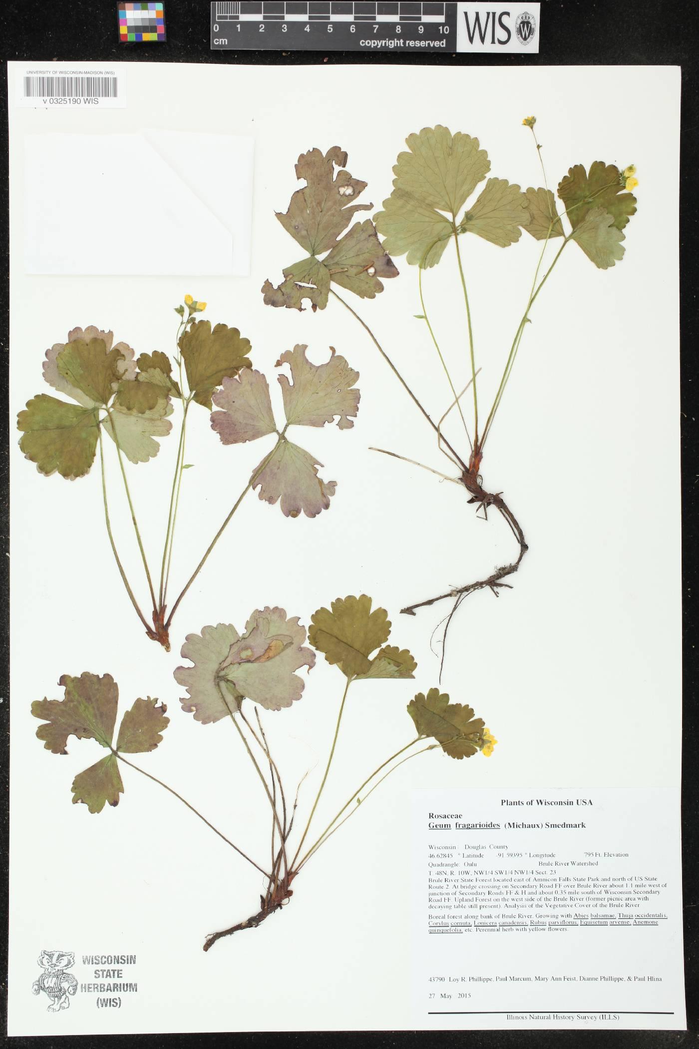 Geum fragarioides image