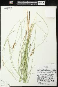 Carex prairea image