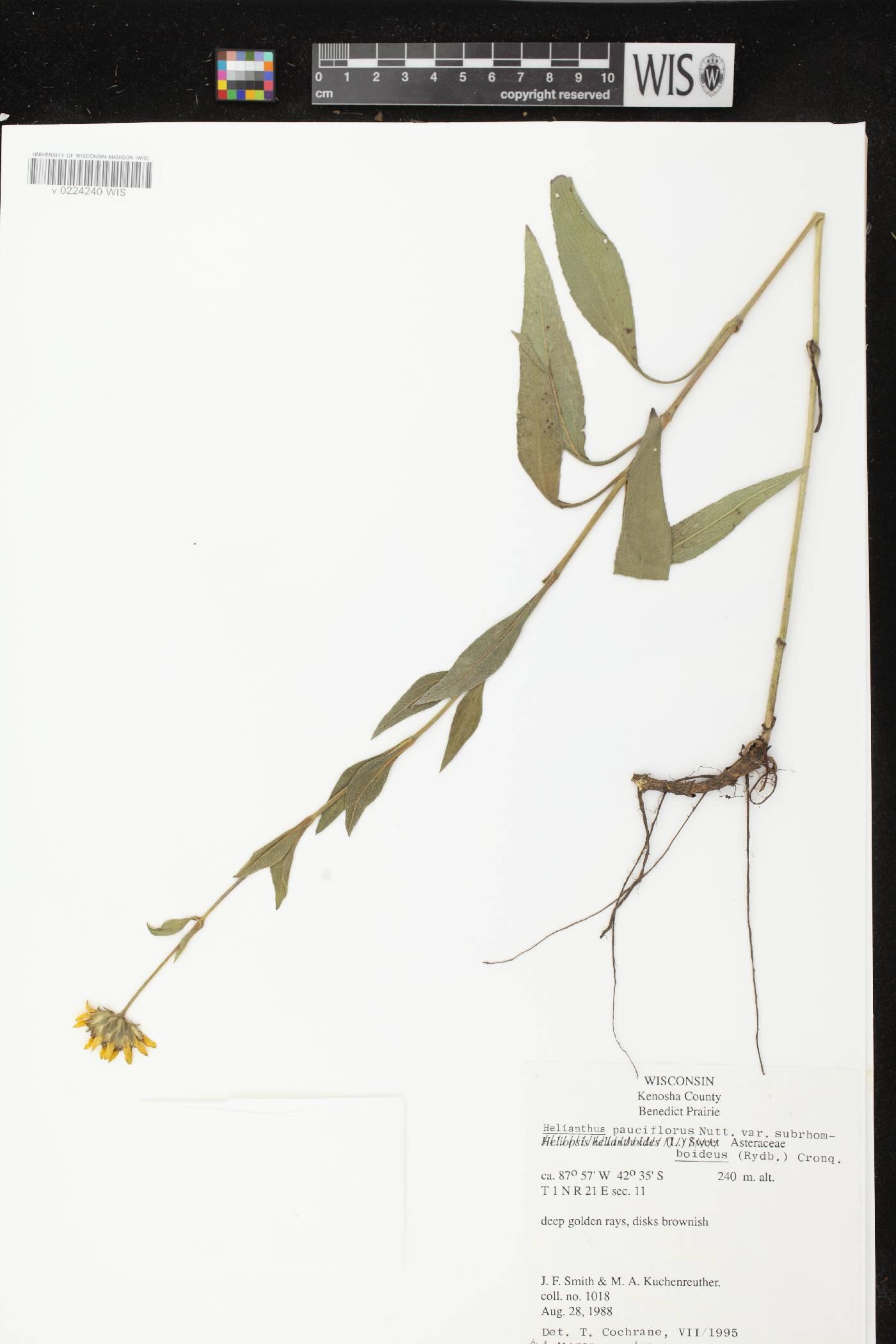 Helianthus pauciflorus subsp. subrhomboideus image