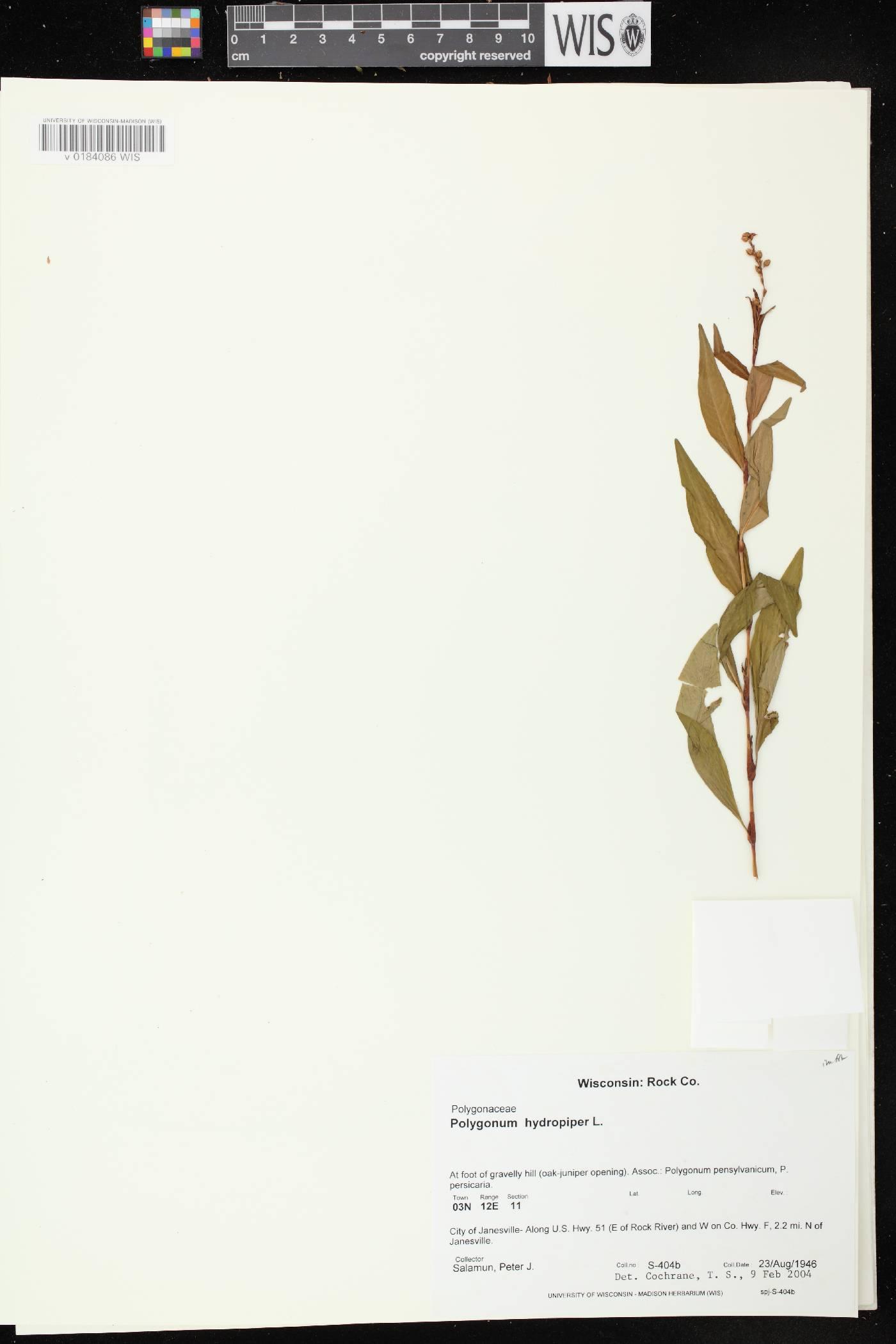 Persicaria hydropiper image