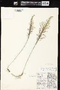 Symphyotrichum ericoides var. ericoides image