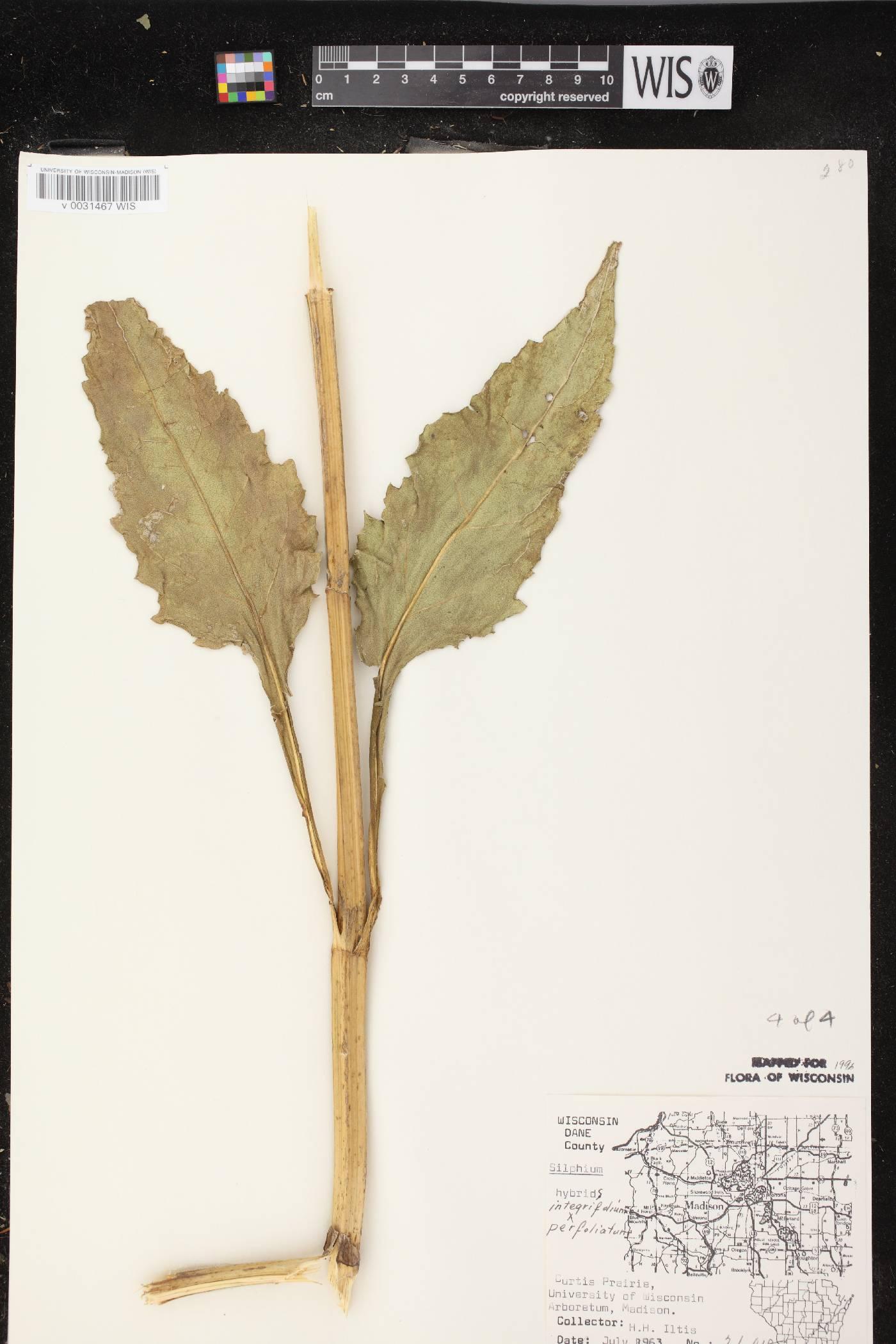 Silphium integrifolium X S. perfoliatum image