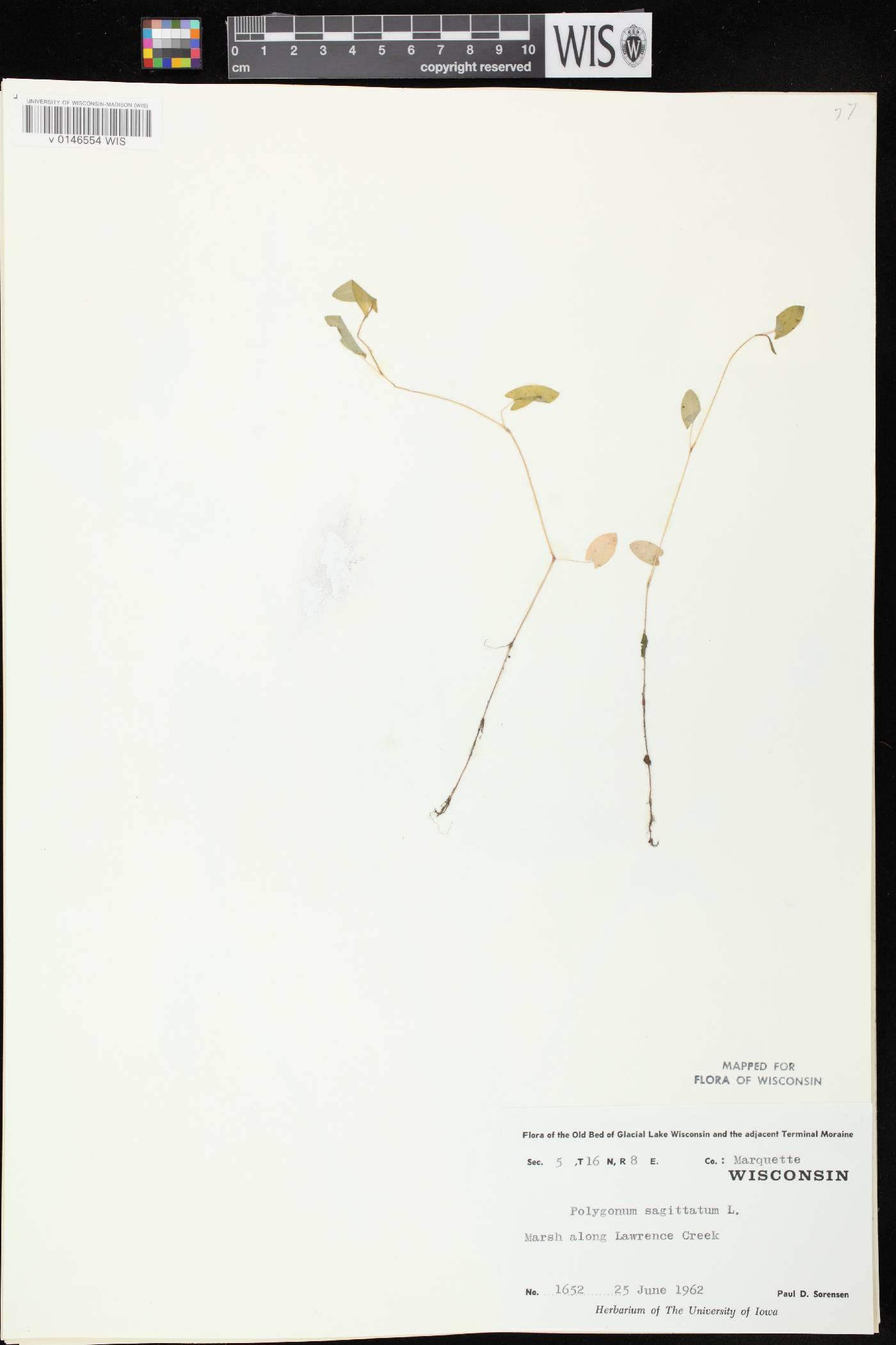 Persicaria sagittata image