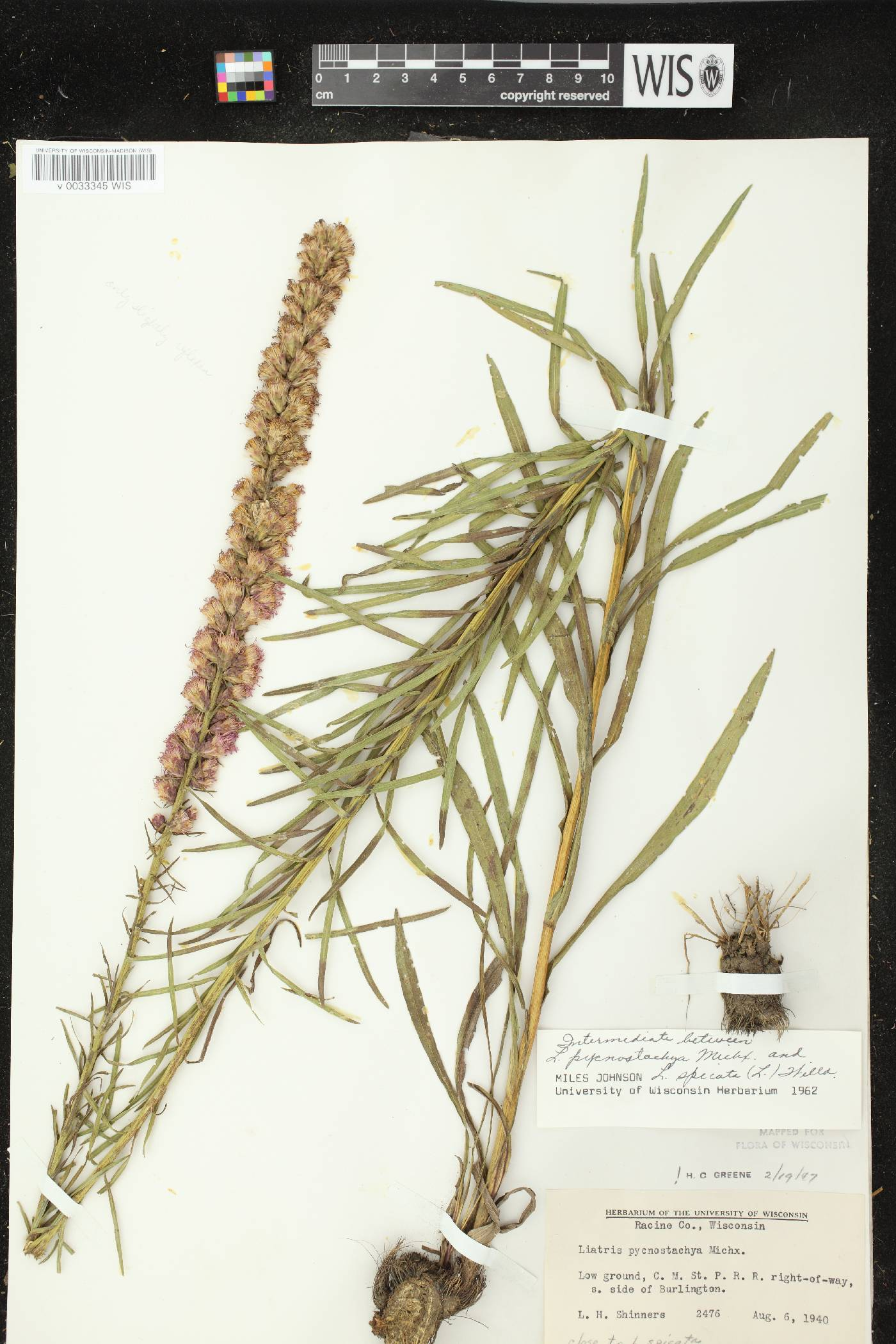 Liatris pycnostachya X L. spicata image