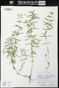 Image of Galium obtusum