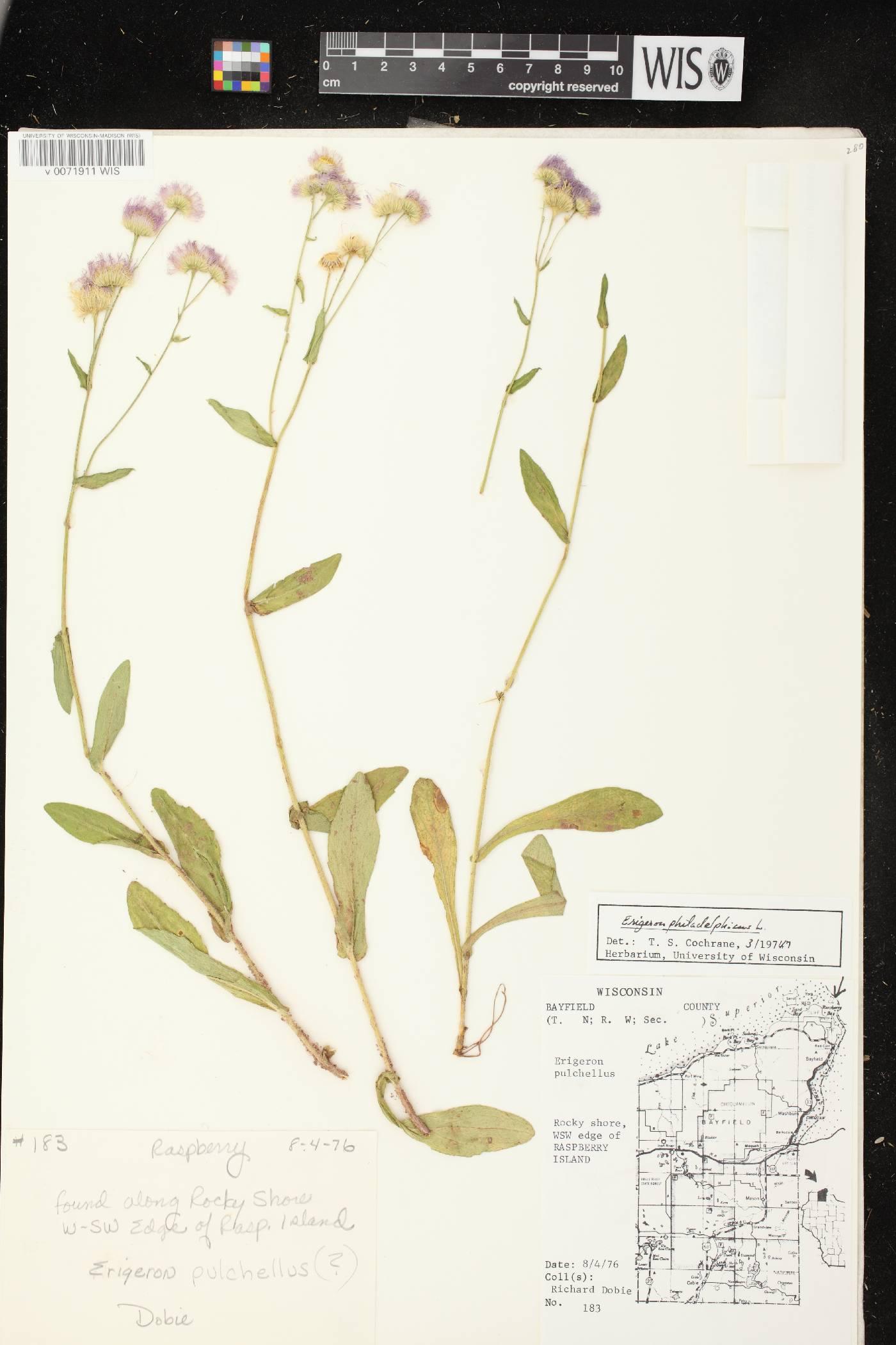 Erigeron philadelphicus var. philadelphicus image