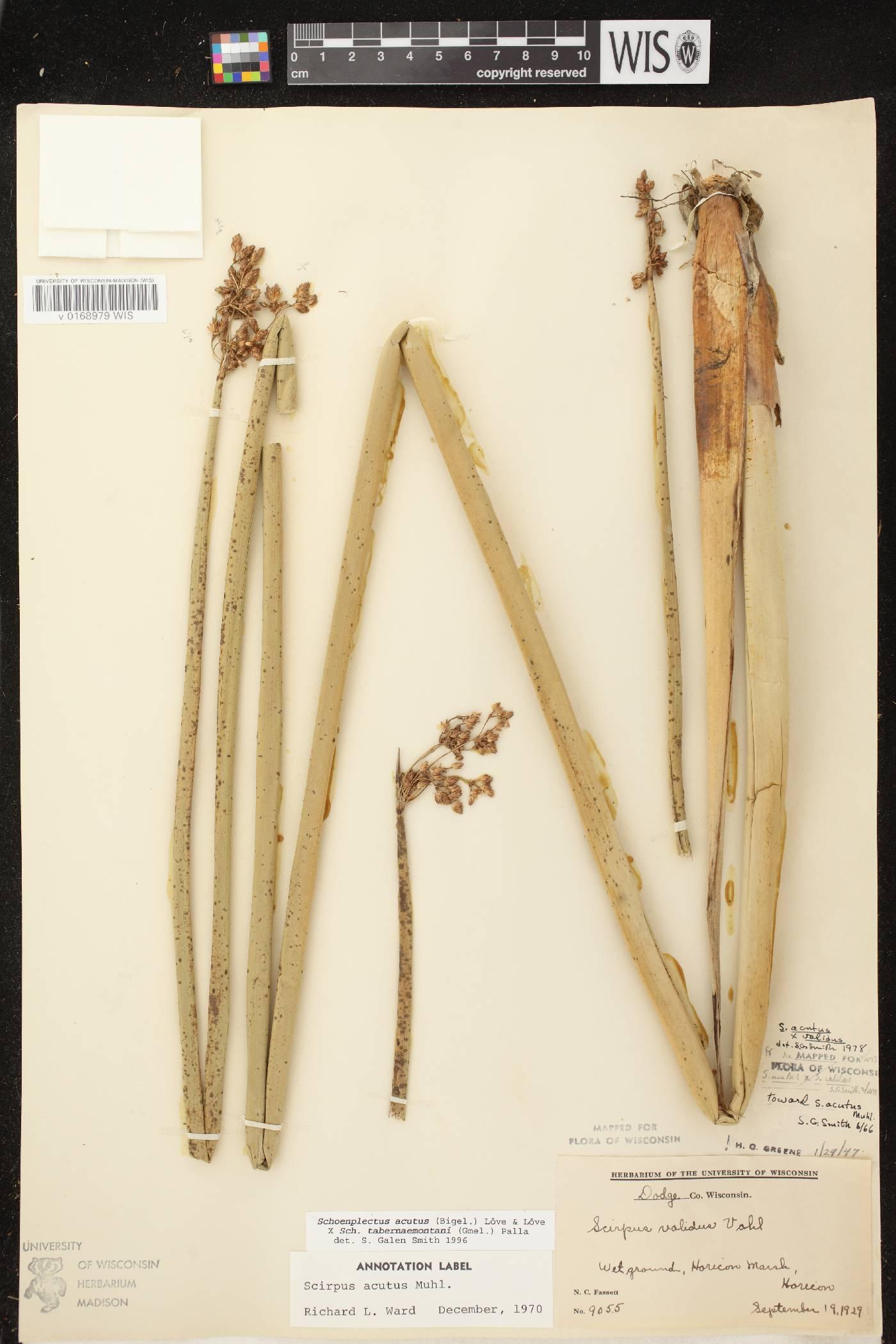 Schoenoplectus acutus X S. tabernaemontani image