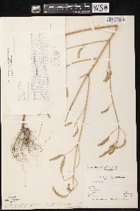 Elsholtzia ciliata image