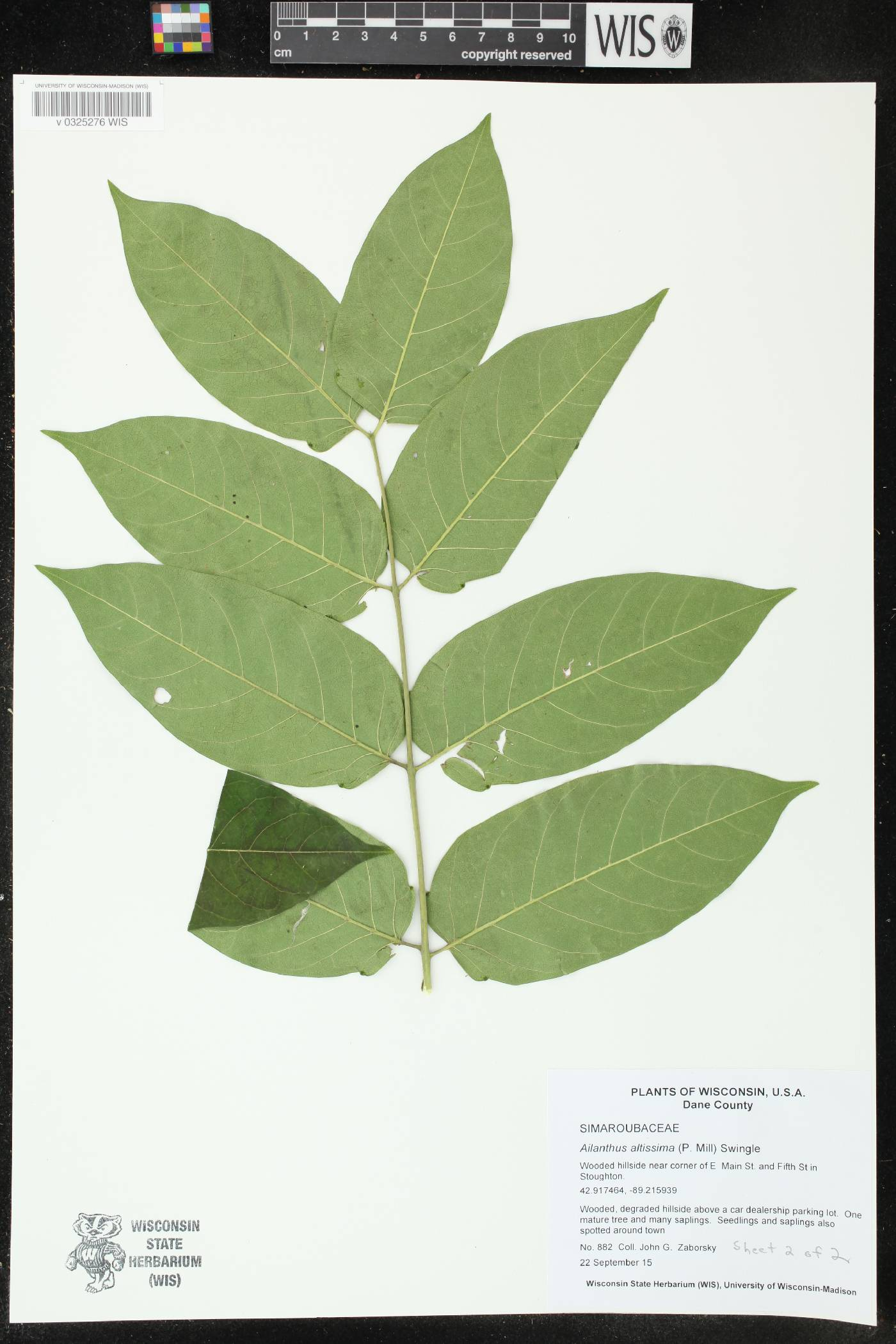 Ailanthus altissima image