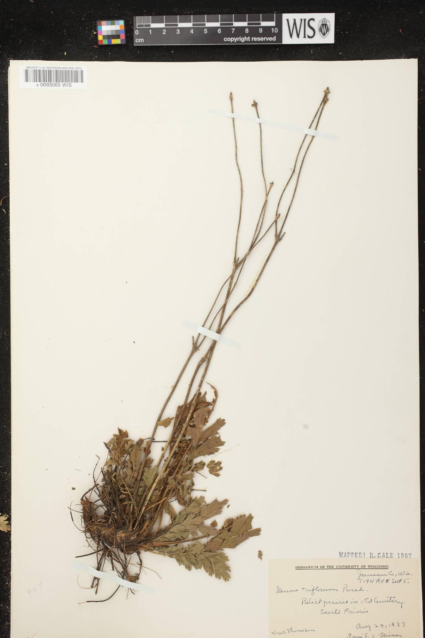 Geum triflorum var. triflorum image