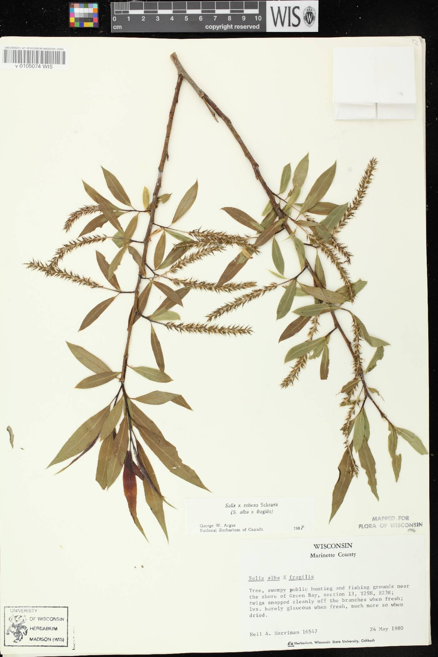 Salix x rubens image