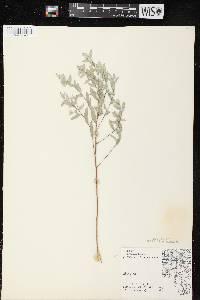 Symphyotrichum sericeum image
