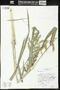 Image of Echinochloa