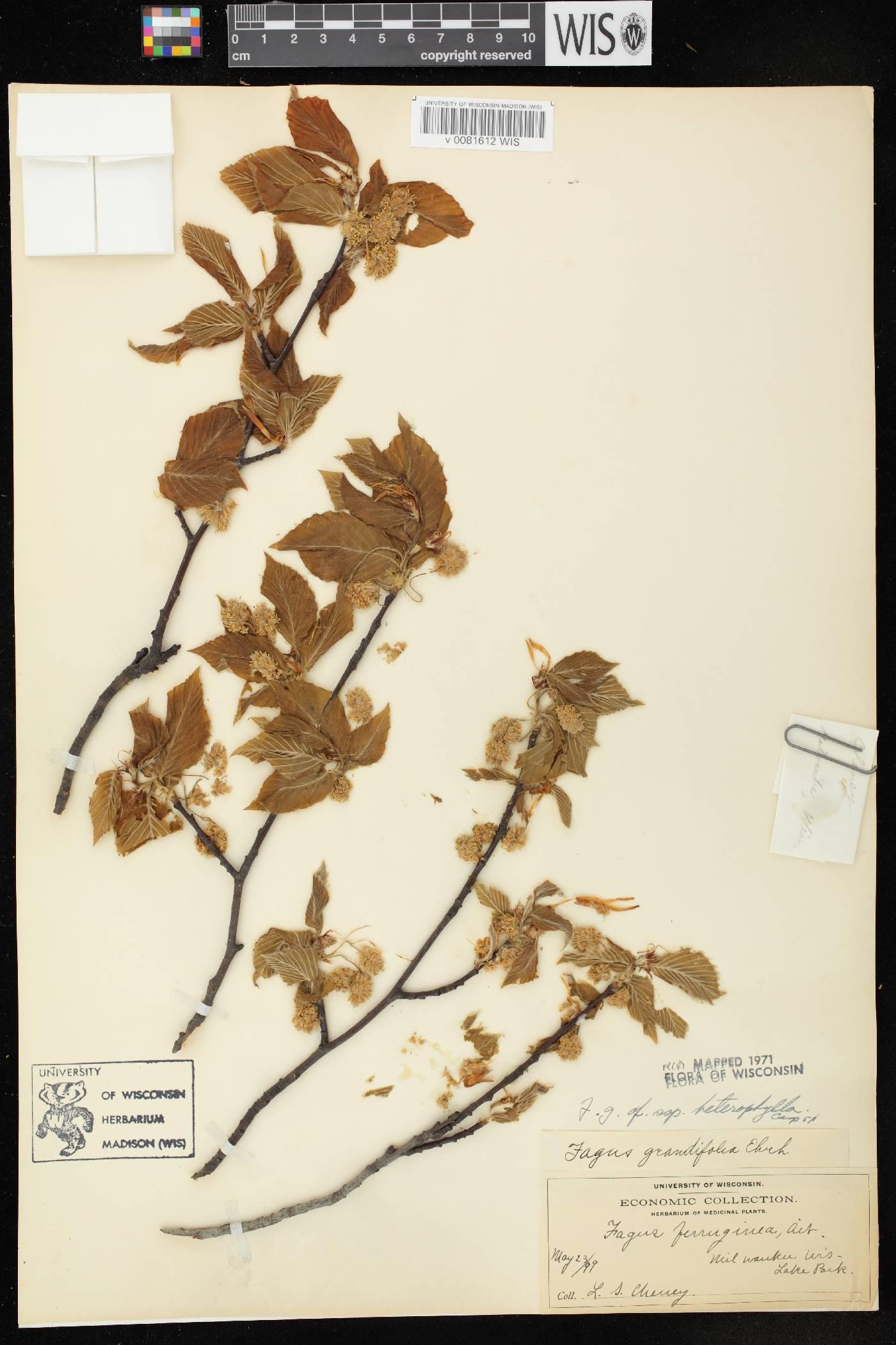 Fagus grandifolia image