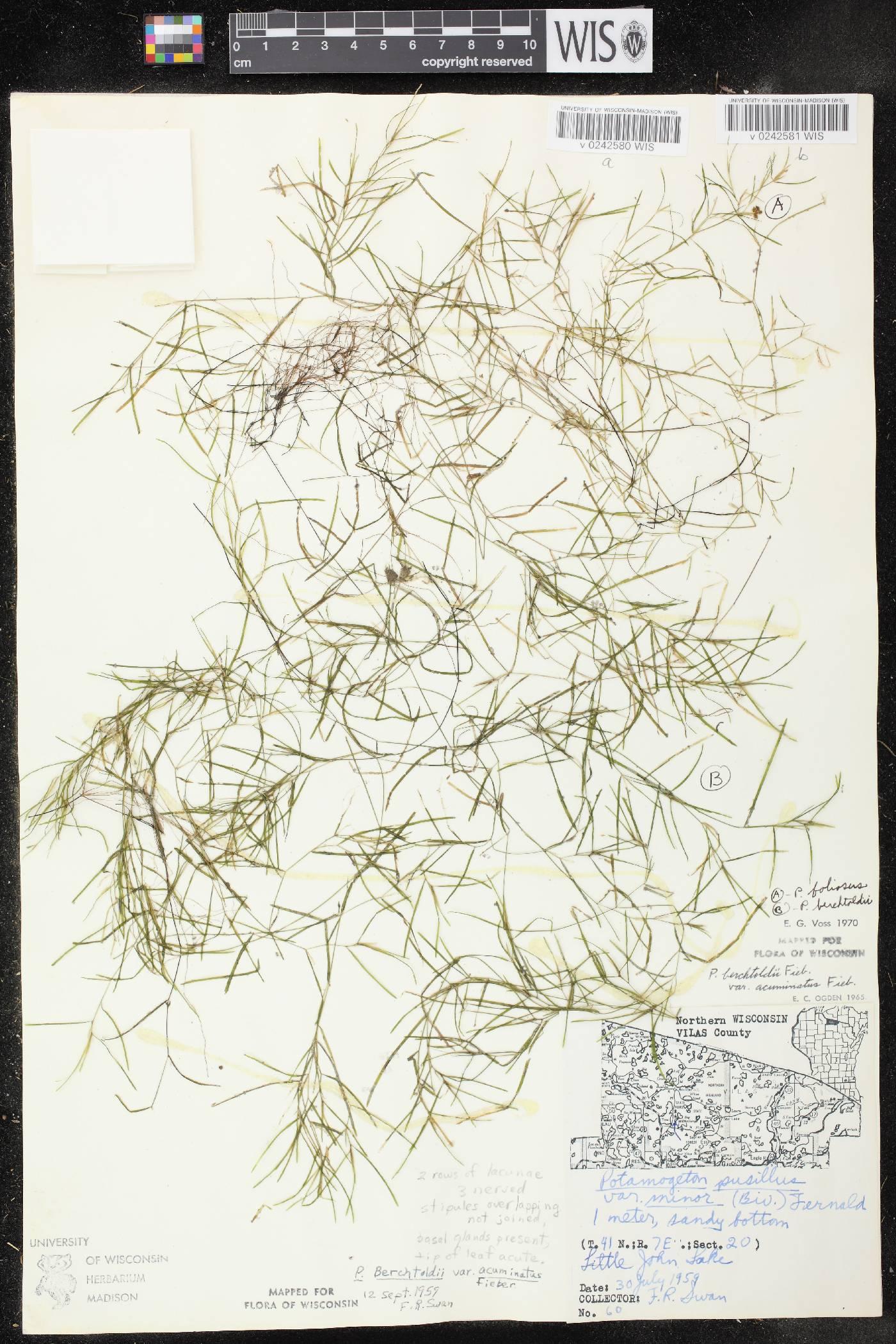 Potamogeton foliosus subsp. foliosus image