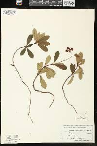 Chimaphila umbellata subsp. umbellata image