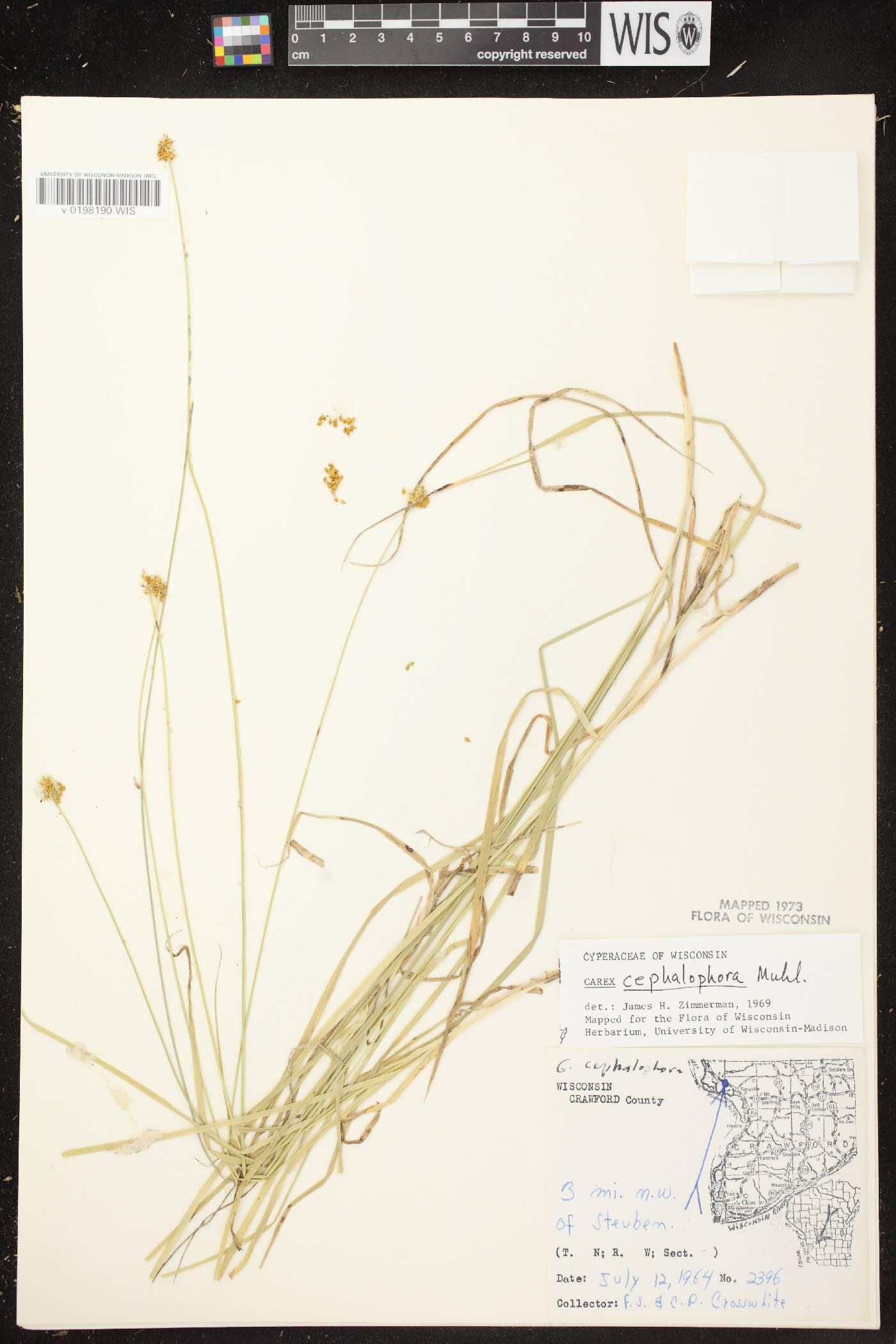 Carex cephalophora image