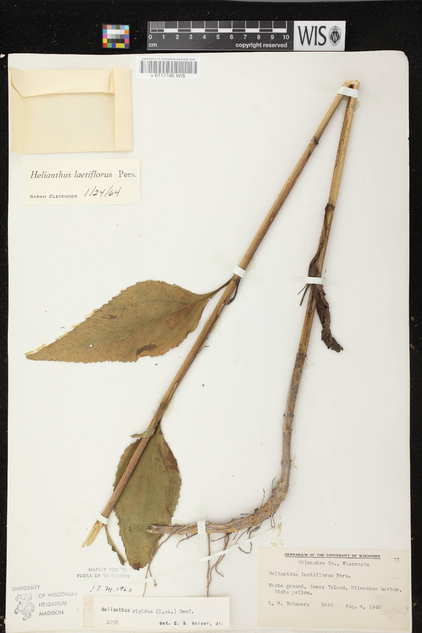 Helianthus X laetiflorus image