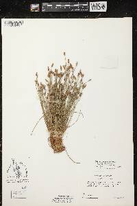 Eleocharis engelmannii var. detonsa image