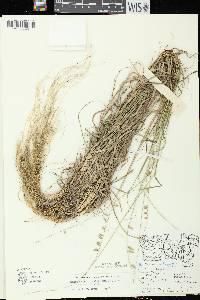 Bouteloua curtipendula image