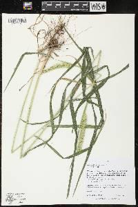 Image of Elymus virginicus