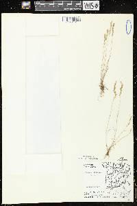 Festuca octoflora image