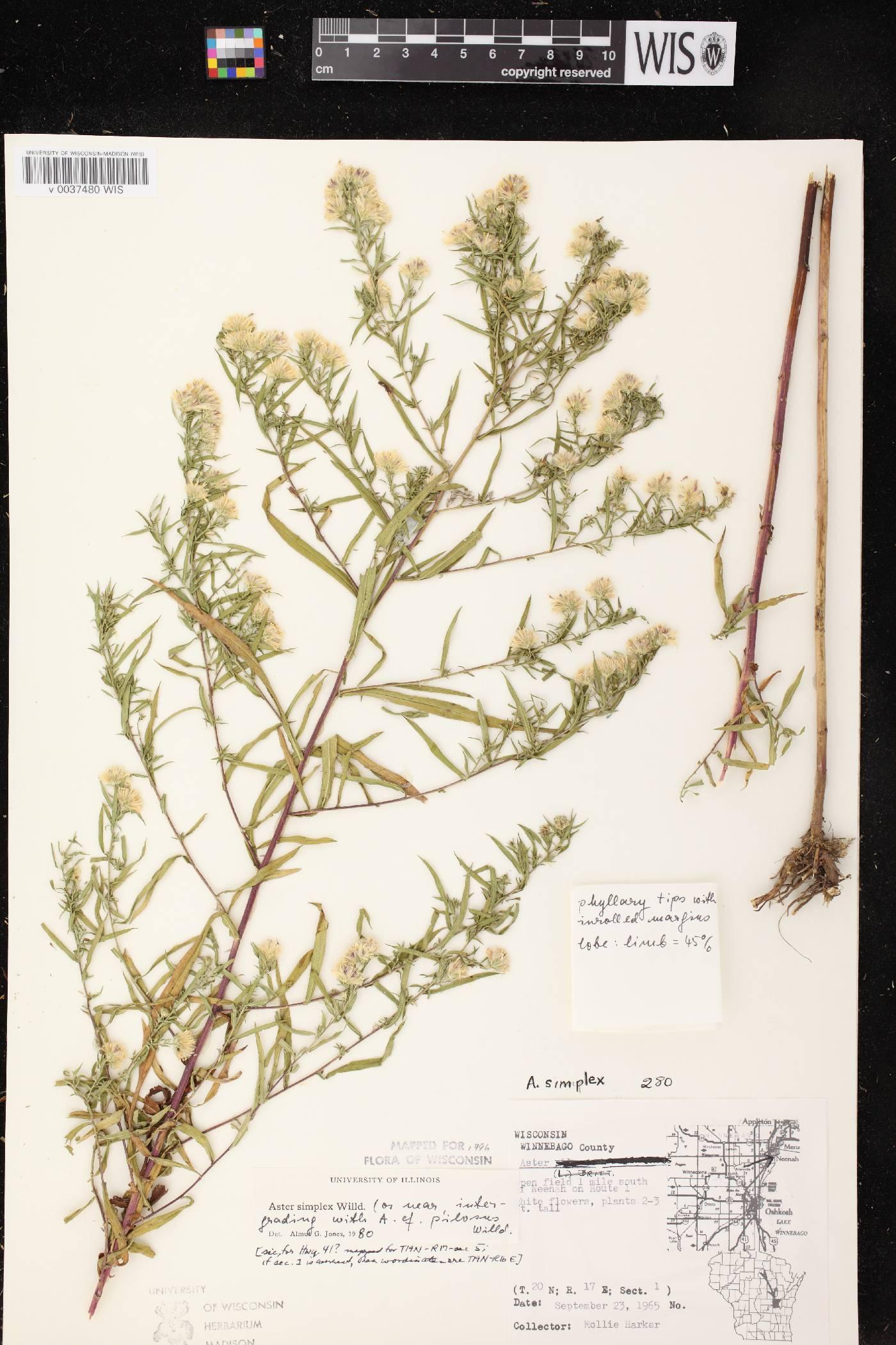 Symphyotrichum lanceolatum var. lanceolatum X S. pilosum image