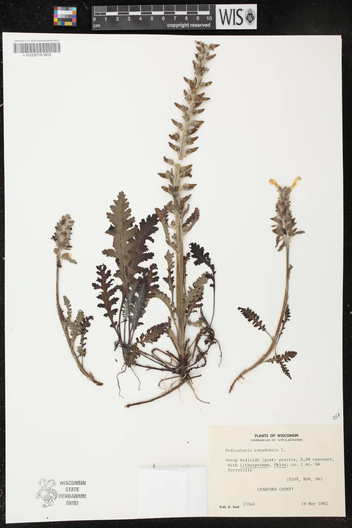 Pedicularis canadensis image