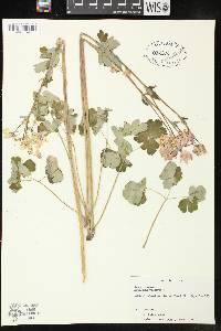Image of Aquilegia vulgaris