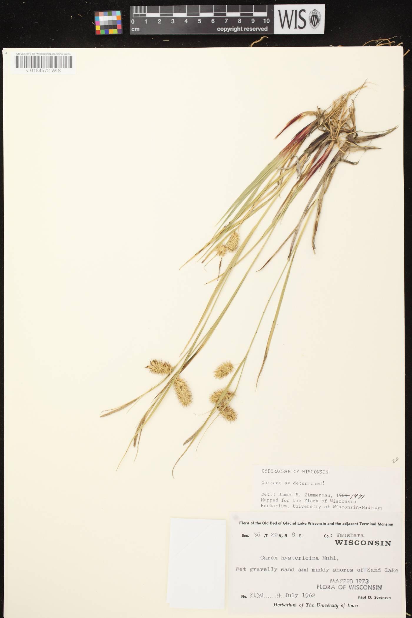Carex hystericina image