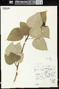 Populus x jackii image