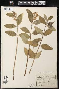Asclepias ovalifolia image