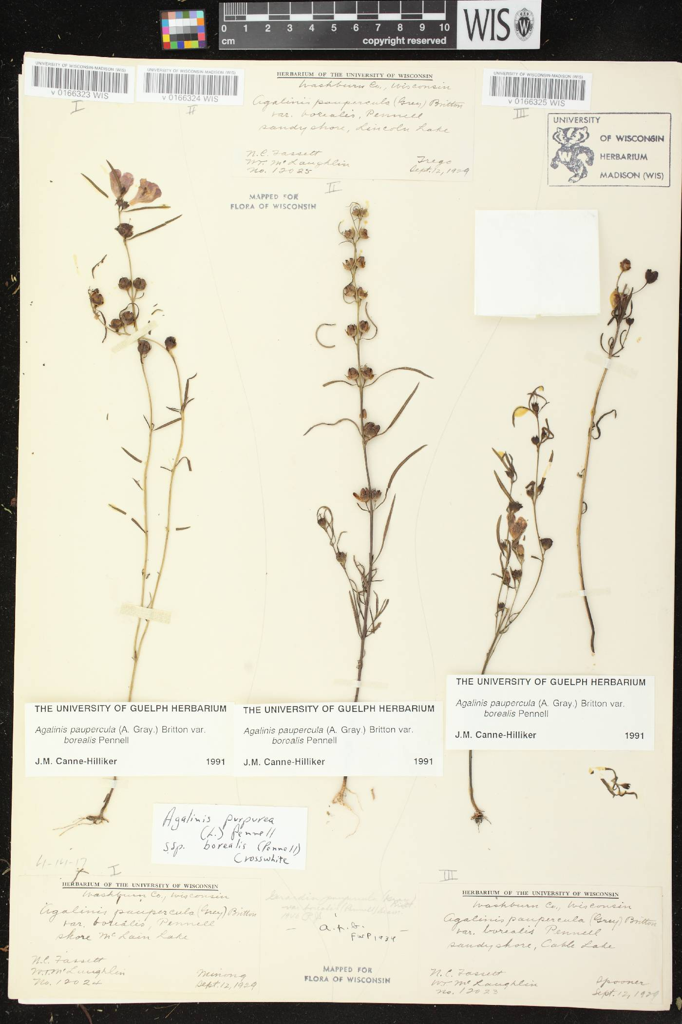 Agalinis paupercula var. borealis image