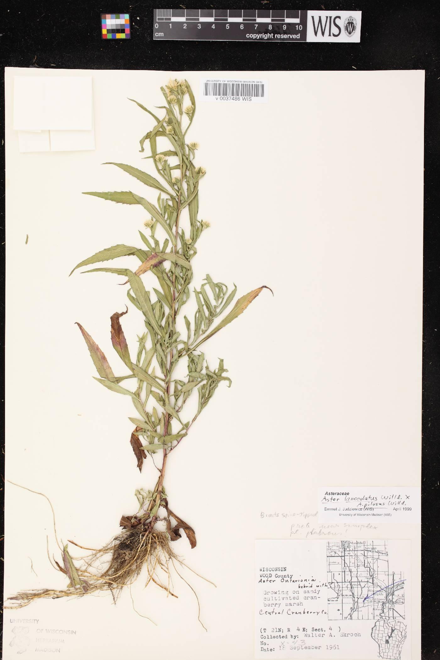 Symphyotrichum lanceolatum X S. pilosum image