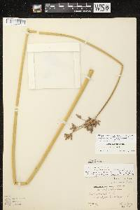 Schoenoplectus acutus X S. heterochaetus image