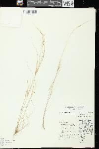 Aristida dichotoma var. curtissii image
