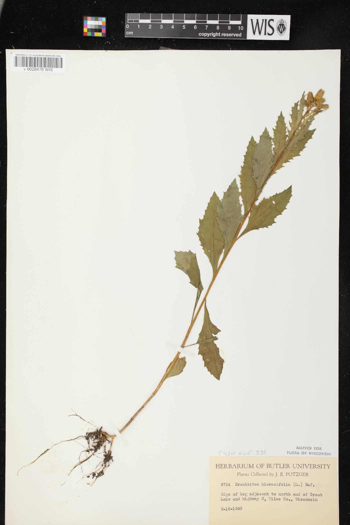 Erechtites hieracifolius image