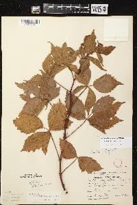 Rubus pensilvanicus X R. setosus image