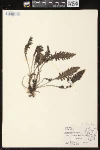 Pedicularis canadensis subsp. canadensis image