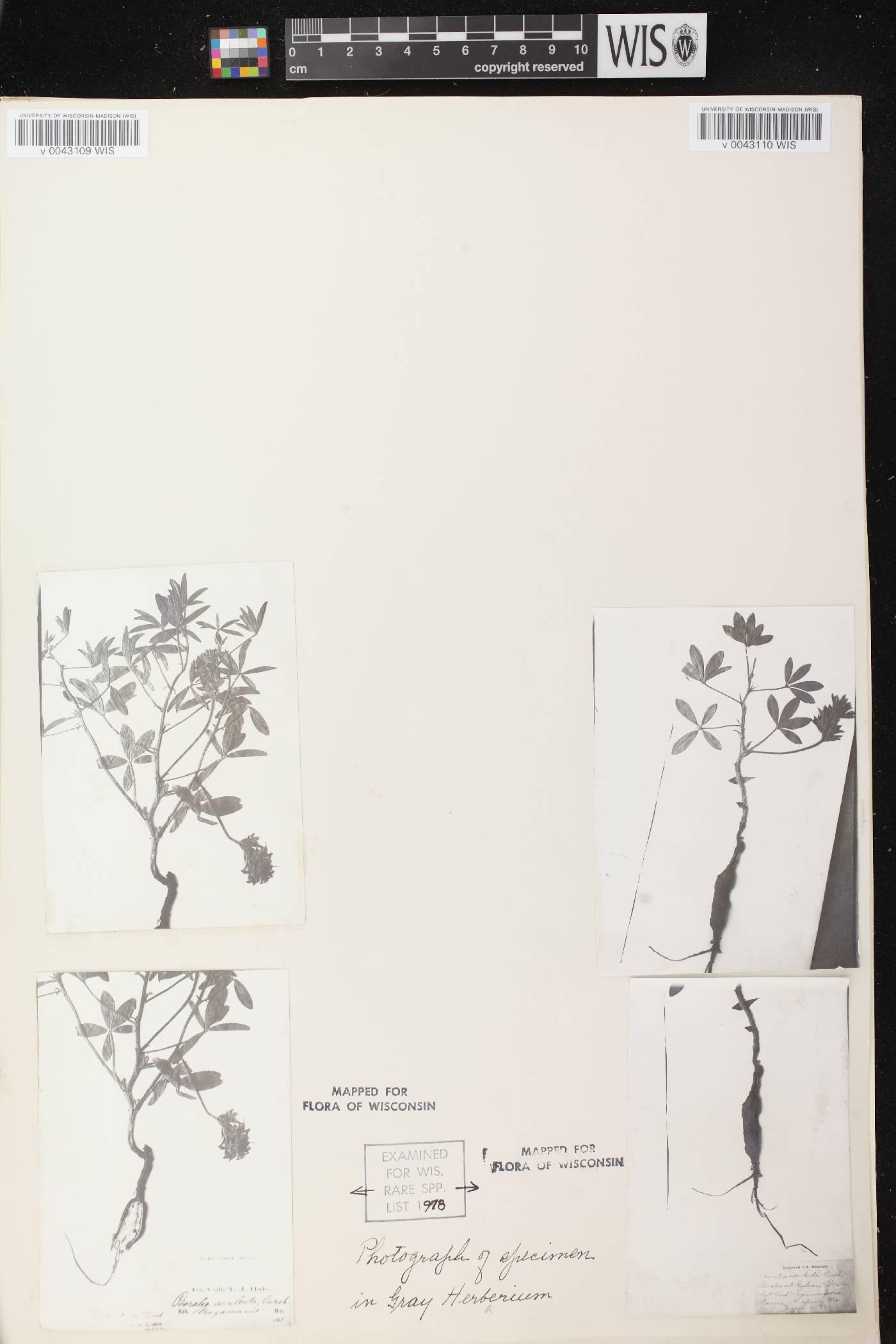 Pediomelum esculentum image