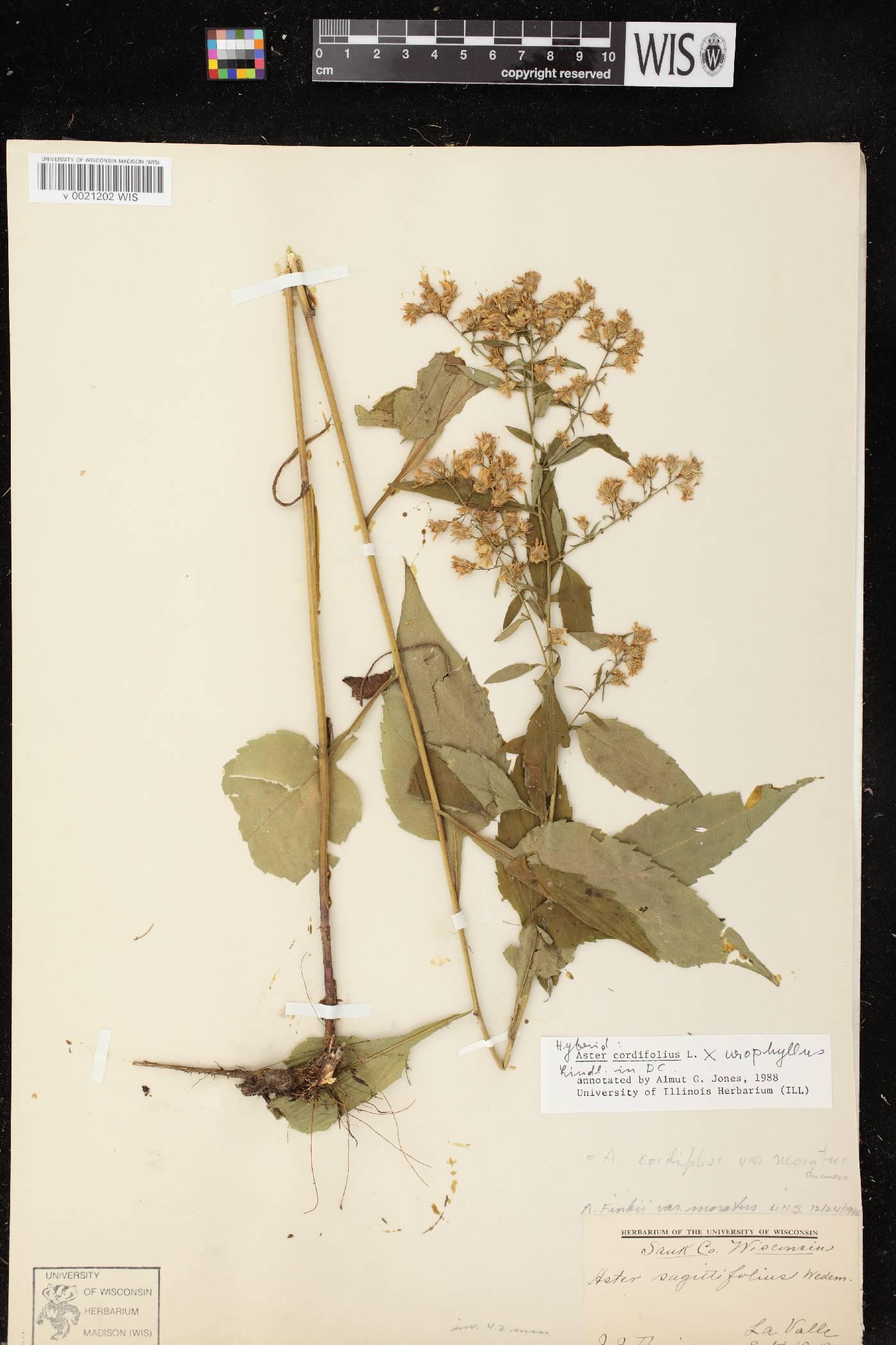 Symphyotrichum cordifolium X S. urophyllum image