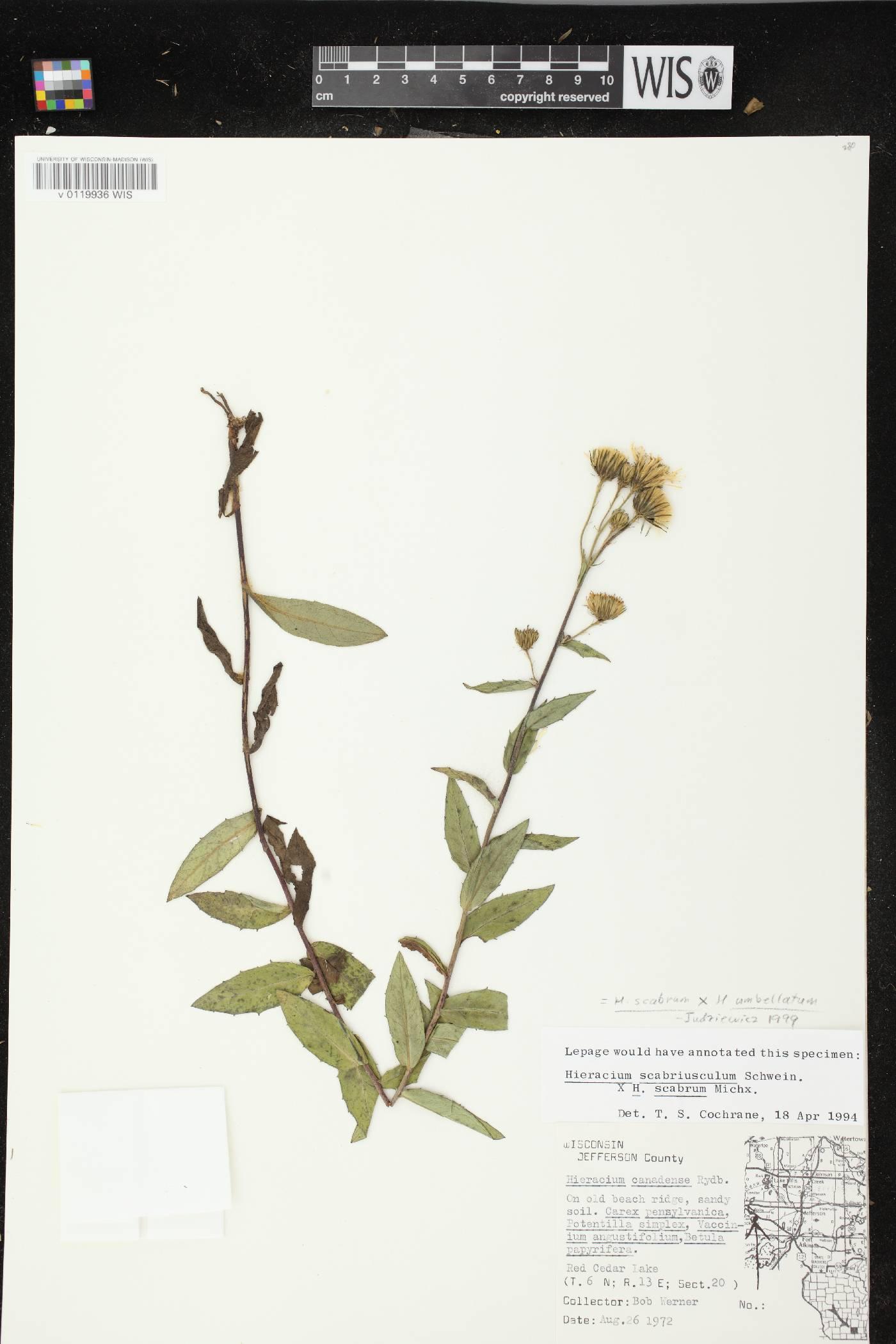 Hieracium scabrum X H. umbellatum image