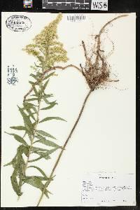 Image of Solidago altissima